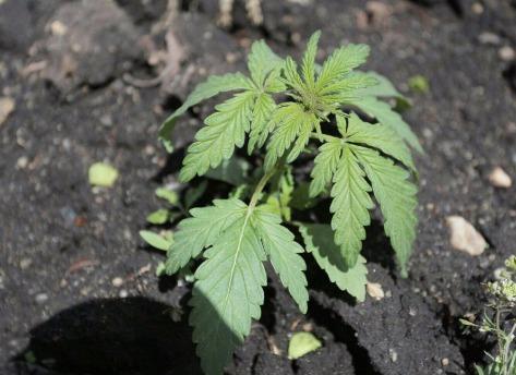 семена марихуаны афганка купить в