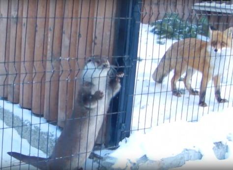 Выдра изчелябинского зоопарка станцевала под балалайку