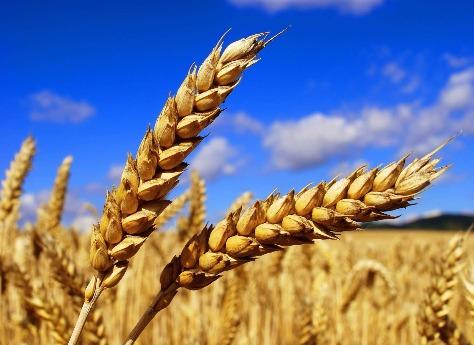 Первые пятьсот тонн южноуральского зерна готовы котправке в КНР