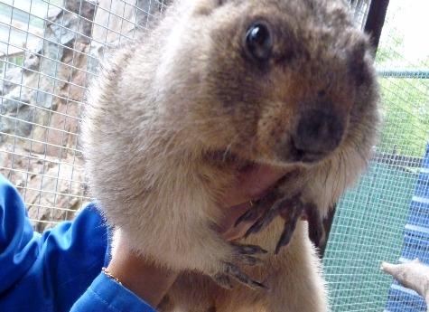 Вчелябинском зоопарке готовятся встретить День сурка